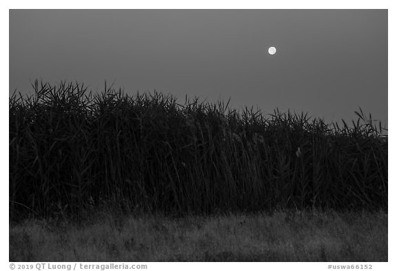 Tall reeds and moon, Hanford Reach National Monument. Washington (black and white)