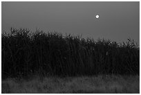 Tall reeds and moon, Hanford Reach National Monument. Washington ( black and white)