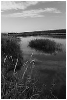 Aquatic grasses on the banks of Columbia River, Ringold Unit, Hanford Reach National Monument. Washington ( black and white)