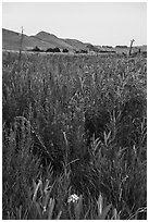 Wildflowers, Ringold Unit, Hanford Reach National Monument. Washington ( black and white)