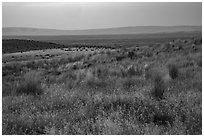 Sub-steppe grasses and distant Saddle Mountain, Hanford Reach National Monument. Washington ( black and white)