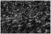 Close up of grasses and volcanic rocks, Hanford Reach National Monument. Washington ( black and white)