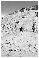 Bighorn sheep family on snowy slope. Jackson, Wyoming, USA (black and white)