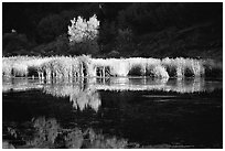 Grasses along the Snake River in late afternoon light. Wyoming, USA ( black and white)