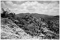 Tropical forest on hill. Puerto Rico ( black and white)