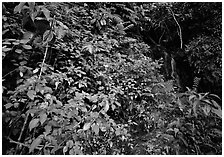 Flowers, lush foliage, and waterfall in rain forest, El Yunque, Carribean National Forest. Puerto Rico ( black and white)