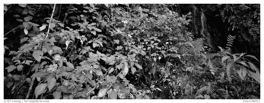 Tropical forest scenery with flowers and waterfall. Puerto Rico (black and white)