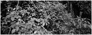 Tropical forest scenery with flowers and waterfall. Puerto Rico (Panoramic black and white)