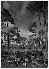 Palmeto and tall pine trees, Corkscrew Swamp. Corkscrew Swamp, Florida, USA (black and white)
