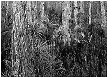 Swamp with cypress and bromeliad flowers, Corkscrew Swamp. Corkscrew Swamp, Florida, USA (black and white)