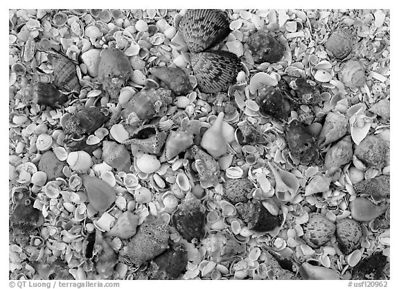 Close-up of shells, Sanibel Island. USA (black and white)