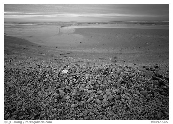 Beach covered with sea shells, sand dollar, shore bird, sunrise, Sanibel Island. Florida, USA (black and white)