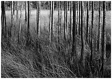 Grasses and trees at edge of swamp, Corkscrew Swamp. Corkscrew Swamp, Florida, USA (black and white)