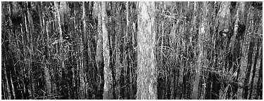 Swamp scenery with cypress. Corkscrew Swamp, Florida, USA (Panoramic black and white)