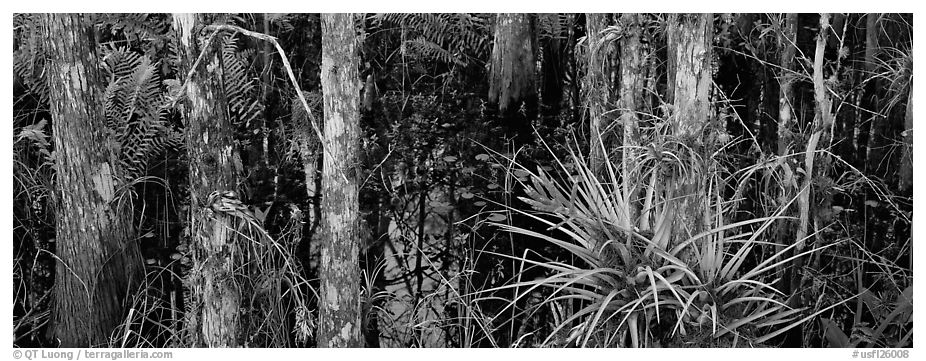 Bromeliad in swamp landscape. Corkscrew Swamp, Florida, USA (black and white)