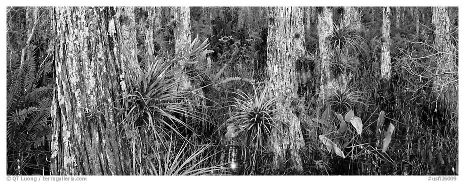 Swamp landscape with flowers. Corkscrew Swamp, Florida, USA (black and white)