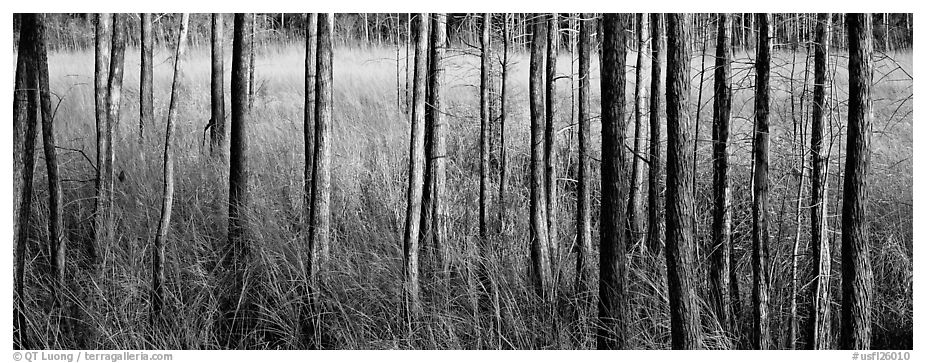 Landscape with trees and grasses. Corkscrew Swamp, Florida, USA (black and white)
