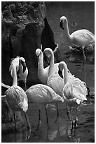 Pink flamingos, Animal Kingdom Theme Park, Walt Disney World. Orlando, Florida, USA ( black and white)