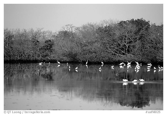 Pond with wading birds, Ding Darling NWR, Sanibel Island. Florida, USA (black and white)