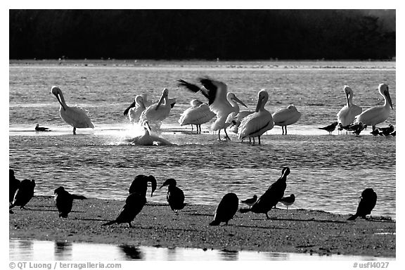 Pelicans splashing, smaller birds standing,  Ding Darling NWR, Sanibel Island. Florida, USA (black and white)