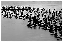 Flock of birds with sunset colors reflected, Ding Darling NWR, Sanibel Island. Florida, USA ( black and white)