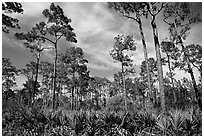 Pine forest with palmetto undergrowth. Corkscrew Swamp, Florida, USA ( black and white)