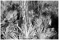 Pine trunk and palmeto. Corkscrew Swamp, Florida, USA ( black and white)