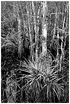 Bromeliads and cypress. Corkscrew Swamp, Florida, USA (black and white)