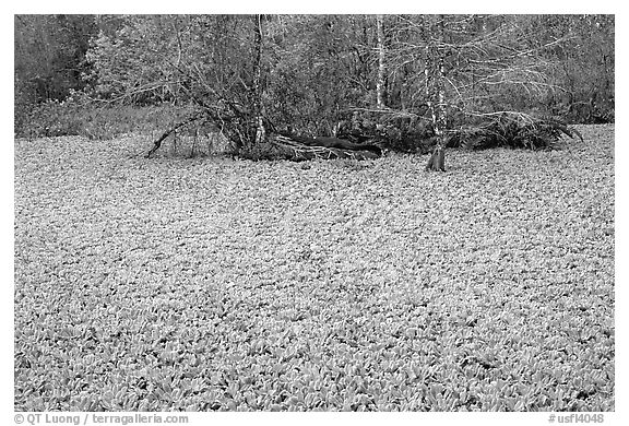 Water lettuce pond with alligator in the distance. Corkscrew Swamp, Florida, USA (black and white)