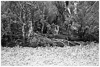 Aligator on the banks of pond. Corkscrew Swamp, Florida, USA ( black and white)