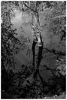 Cypress reflected in dark swamp. Corkscrew Swamp, Florida, USA ( black and white)