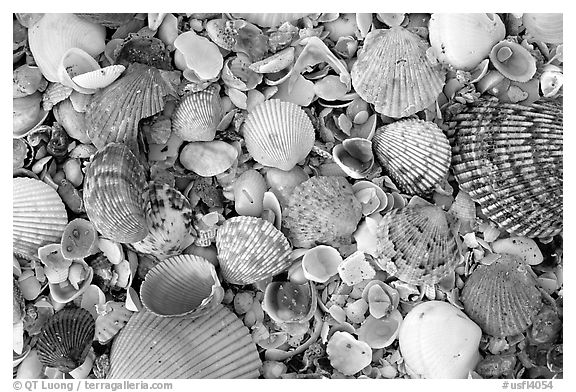 Shells close-up, Sanibel Island. Florida, USA (black and white)