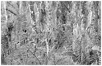 Trunks covered with red lichen, Loxahatchee National Wildlife Refuge. Florida, USA (black and white)