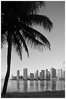 Palm tree and downtown skyline, Miami. Florida, USA ( black and white)