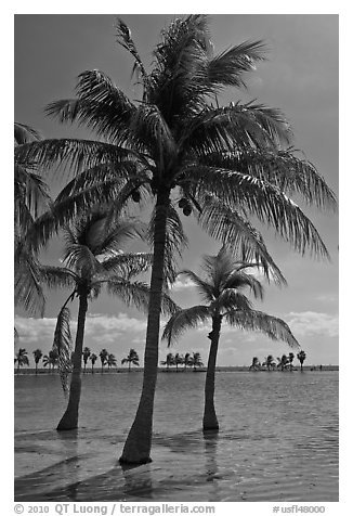 Palm trees in pond,  Matheson Hammock Park. Coral Gables, Florida, USA (black and white)