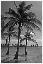 Palm trees in pond,  Matheson Hammock Park, Coral Gables. Florida, USA (black and white)