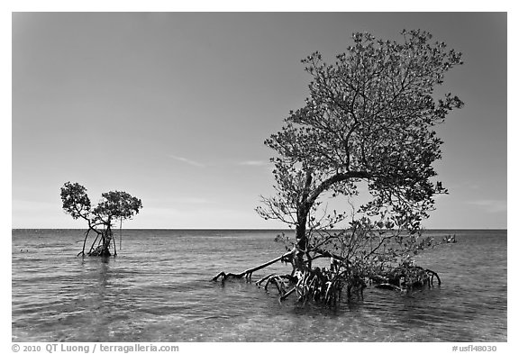 Two red mangrove trees, West Summerland Key. The Keys, Florida, USA (black and white)