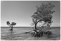 Two red mangrove trees, West Summerland Key. The Keys, Florida, USA ( black and white)