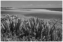 Plants and colorful Atlantic waters, Bahia Honda State Park. The Keys, Florida, USA ( black and white)