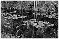 Aquatic plants and reflections, Big Cypress National Preserve. Florida, USA (black and white)
