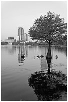 Bald Cypress tree in Lake Eola and high rise buildings. Orlando, Florida, USA (black and white)