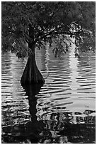 Bald Cypress and reflections, Lake Eola. Orlando, Florida, USA (black and white)