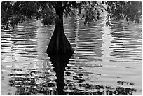 Cypress, reflections, and ripples, Lake Eola. Orlando, Florida, USA (black and white)