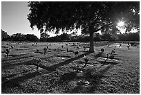 Sun shining trough tree, Cemetery. Orlando, Florida, USA (black and white)