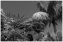 Flowering Octopus tree and palms, Sanibel Island. Florida, USA (black and white)