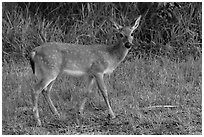 Key deer (Odocoileus virginianus clavium), Big Pine Key. The Keys, Florida, USA ( black and white)