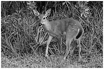 Endangered Key deer, Big Pine Key. The Keys, Florida, USA ( black and white)