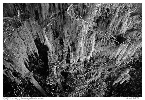 Black and White Picture/Photo: Spanish moss, Okefenokee ...