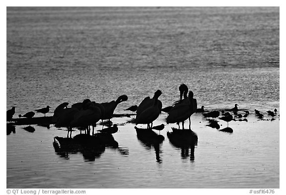 Pelicans and smaller wading birds at sunset, Ding Darling NWR. Florida, USA (black and white)