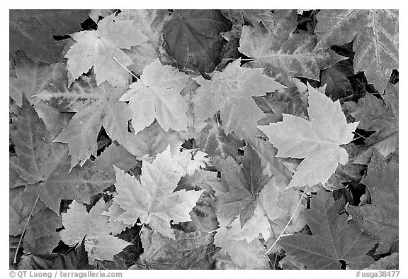 Close-up of maple leaves in fall colors. Georgia, USA (black and white)